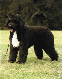 Grooming  Portuguese Water Dog